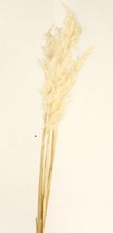 Gigant Reed gebleicht 80cm