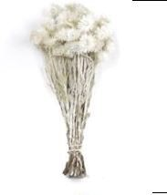 Capblumen ca. 30cm Bund-Preis